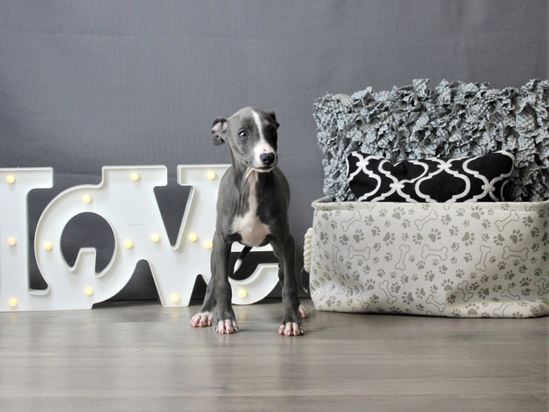 Italian Greyhound-Male-Blue/ White-3275345-Petland Carriage Place