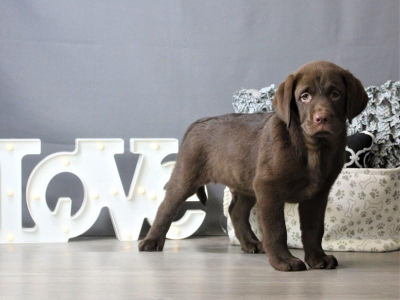 Labrador Retriever-Male-Chocolate-3275346-Petland Carriage Place