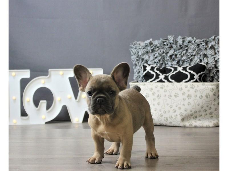 French Bulldog-DOG-Female-Blue-3275506-Petland Carriage Place