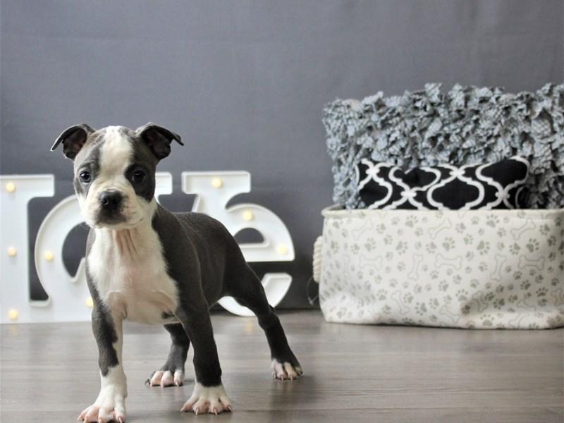 Boston Terrier-Male-Blue / White-3275505-Petland Carriage Place