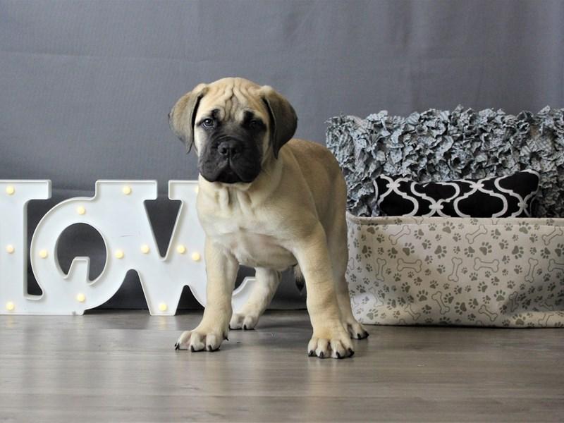 Bullmastiff-DOG-Male-Fawn-3284451-Petland Carriage Place