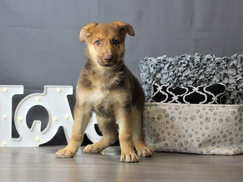 German Shepherd Dog-DOG-Female-Liver-3284449-Petland Carriage Place