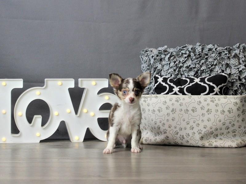 Chihuahua-DOG-Male-Chocolate Merle-3284446-Petland Carriage Place