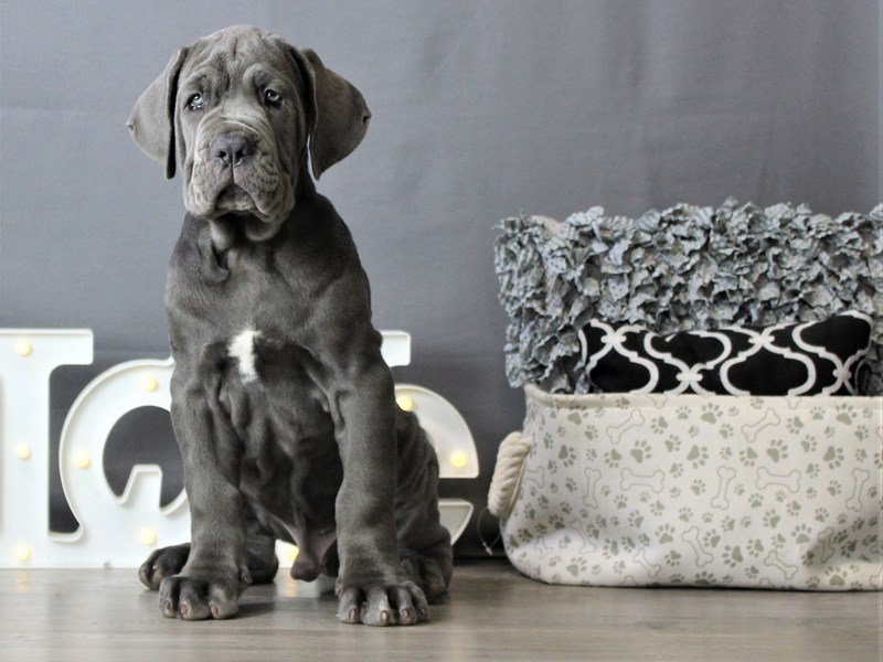 Neapolitan Mastiff-Male-Blue-3284554-Petland Carriage Place