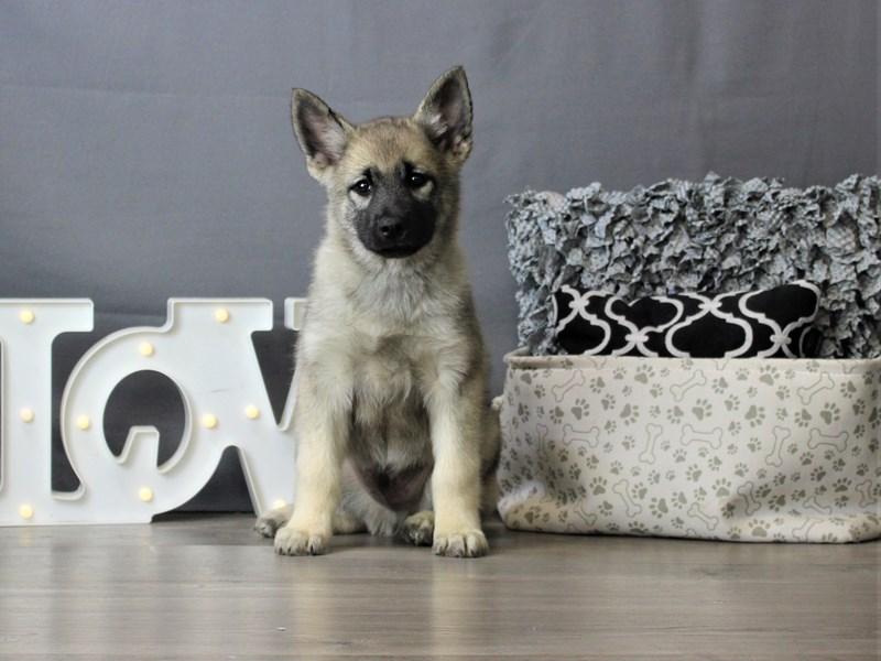 Norwegian Elkhound-Male-Black / Silver-3284445-Petland Carriage Place