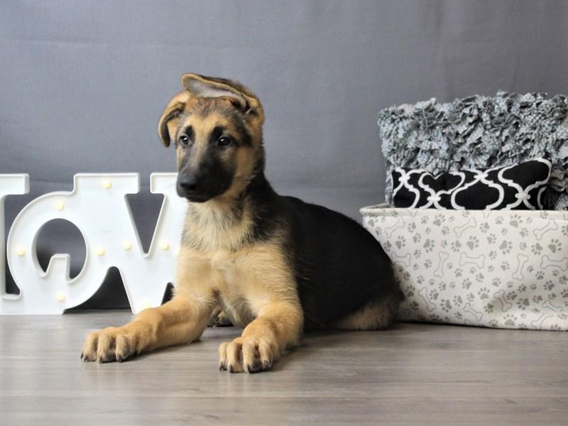 German Shepherd Dog-DOG-Male-Black / Tan-3293155-Petland Carriage Place