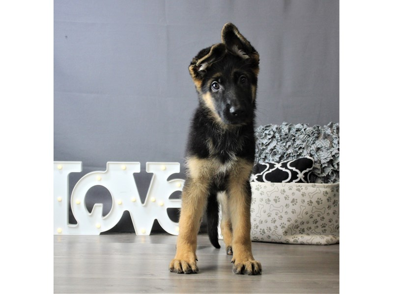 German Shepherd Dog-Female-Black / Red-3293158-Petland Carriage Place