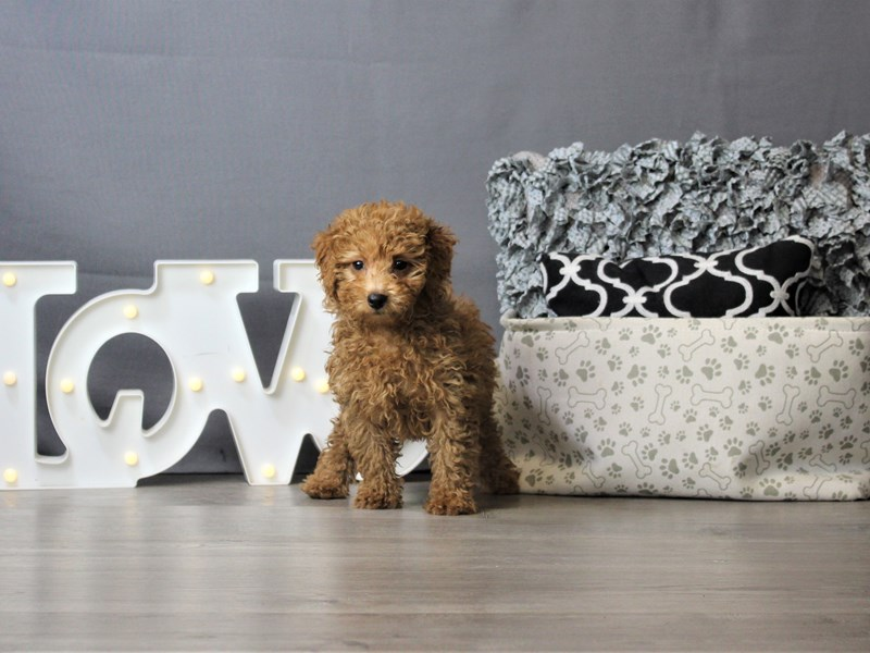 Poodle-Female-Red-3293288-Petland Carriage Place