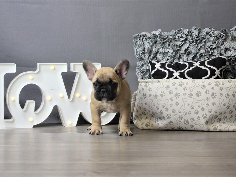 French Bulldog-DOG-Male-Fawn-3293149-Petland Carriage Place