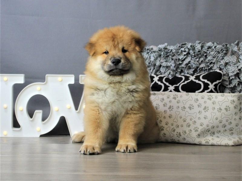 Chow Chow-DOG-Male-Cinnamon-3293139-Petland Carriage Place