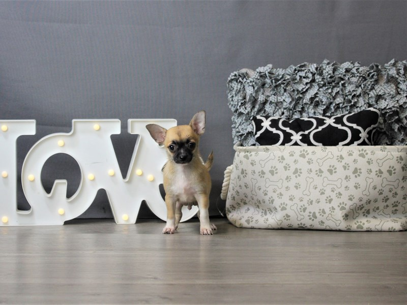 Chihuahua-Male-Fawn-3293146-Petland Carriage Place