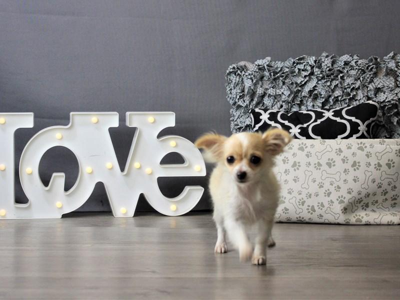 Chihuahua-Female-Cream-3293159-Petland Carriage Place
