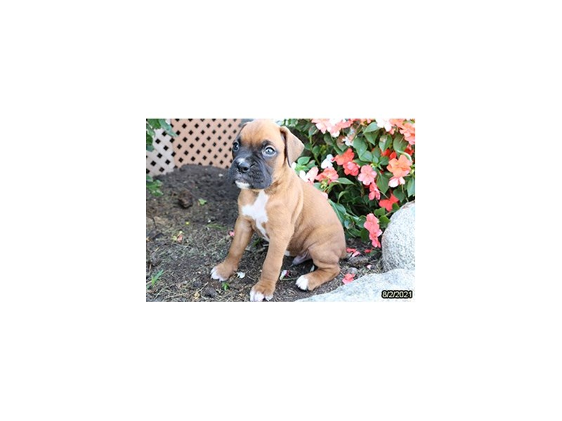 Boxer-Male-Fawn-3302813-Petland Carriage Place