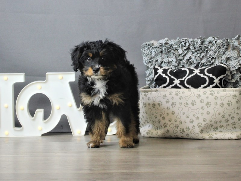 Mini Aussiedoodle-DOG-Female-Black  Tri-3302819-Petland Carriage Place
