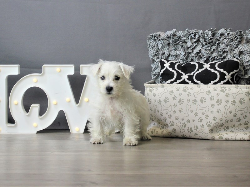 West Highland White Terrier-Male-White-3302809-Petland Carriage Place