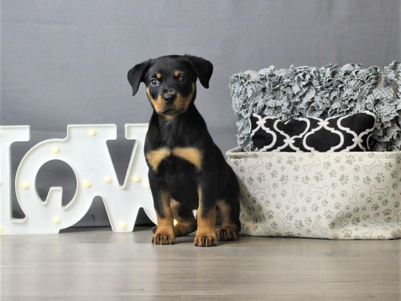 Rottweiler-Male-Black / Tan-3302814-Petland Carriage Place