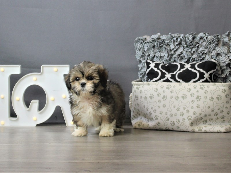Lhasa Apso-DOG-Female-Red-3302807-Petland Carriage Place