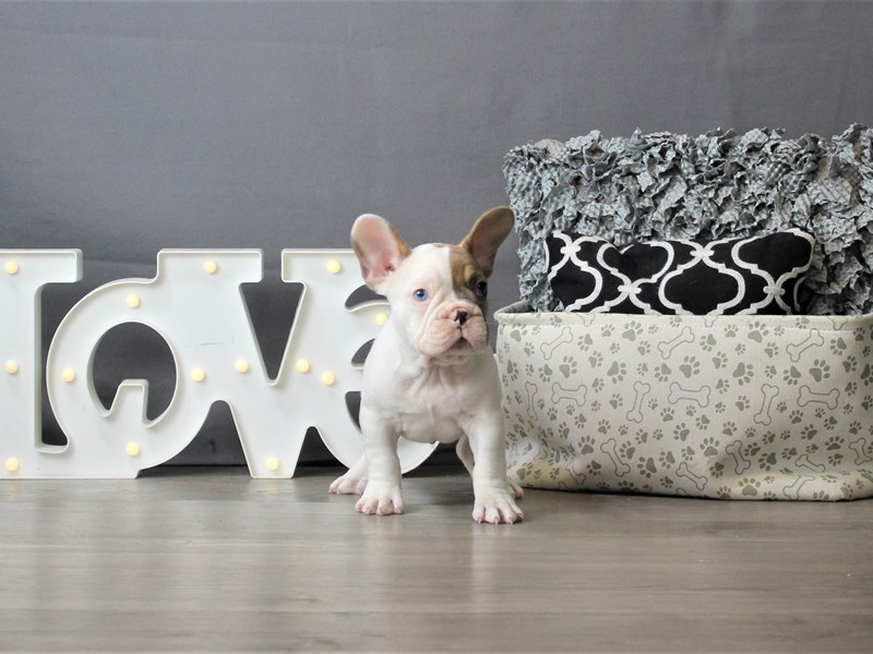 French Bulldog-DOG-Male-Fawn / White-3302812-Petland Carriage Place