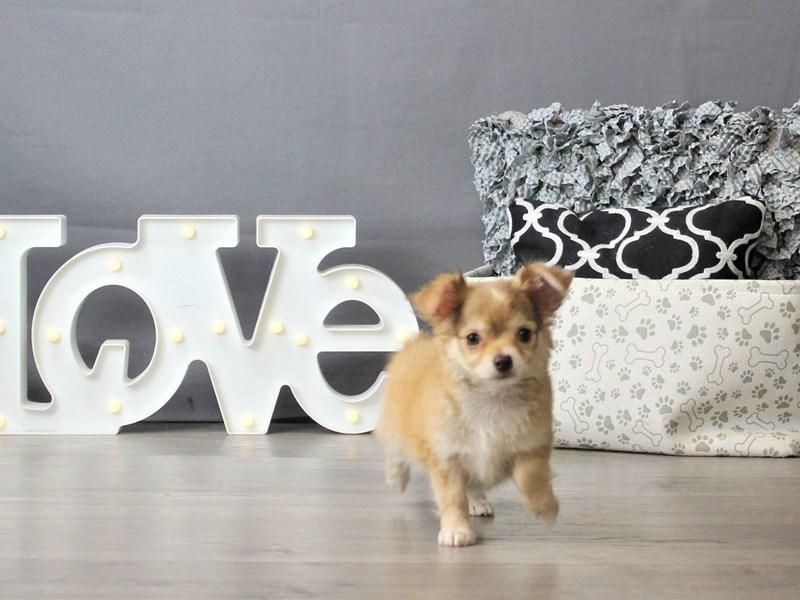 Chihuahua-DOG-Female-Fawn-3302816-Petland Carriage Place