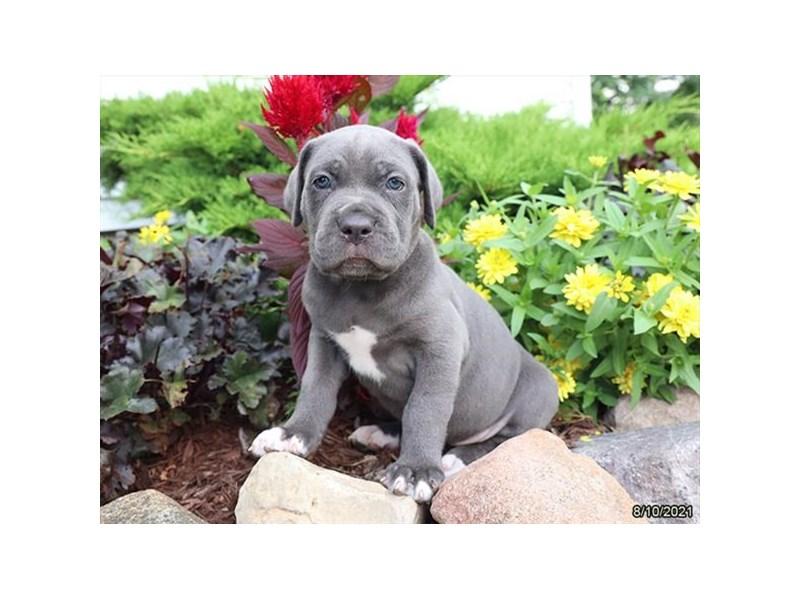 Cane Corso-DOG-Female-Blue-3312031-Petland Carriage Place