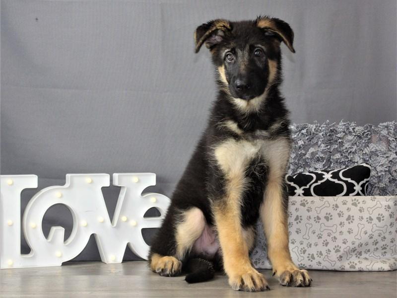 German Shepherd Dog-Male-Black / Red-3312020-Petland Carriage Place