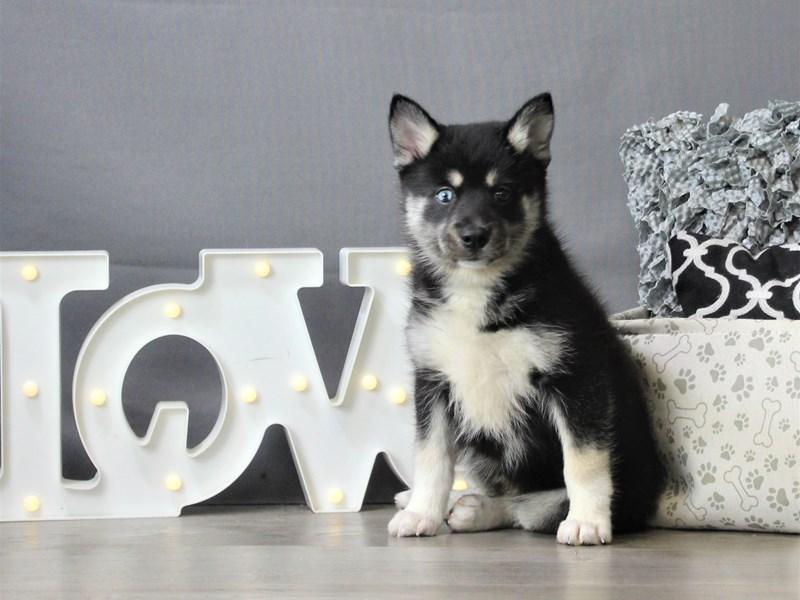 Pomsky-DOG-Female-Black-3312012-Petland Carriage Place