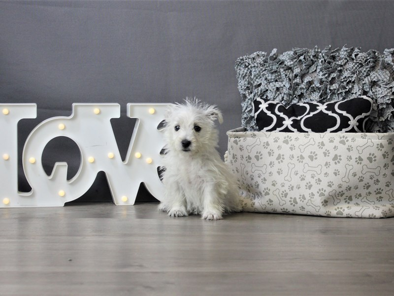 West Highland White Terrier-Female-White-3312016-Petland Carriage Place