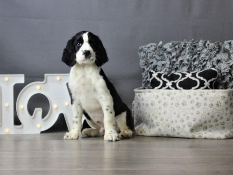 English Springer Spaniel-DOG-Male-Black / White-3312017-Petland Carriage Place