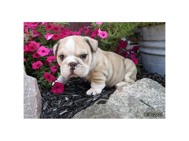 English Bulldog-Male-Blue Merle-3321353-Petland Carriage Place