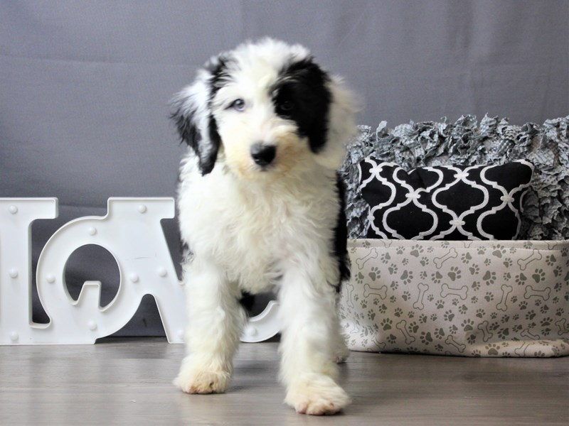 Old English Sheepdog/Poodle-Male-Black / White-3321352-Petland Carriage Place