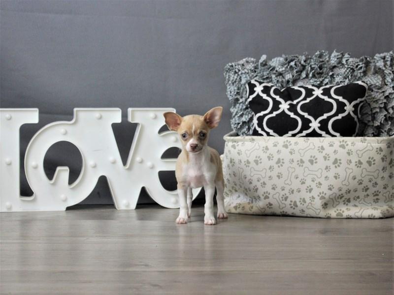 Chihuahua-Female-White / Blue Fawn-3321229-Petland Carriage Place
