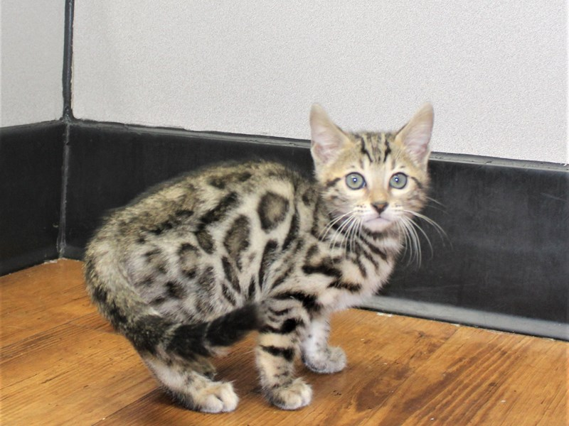 Bengal-CAT-Male-Brown Rosetted Tabby-3153141-Petland Carriage Place