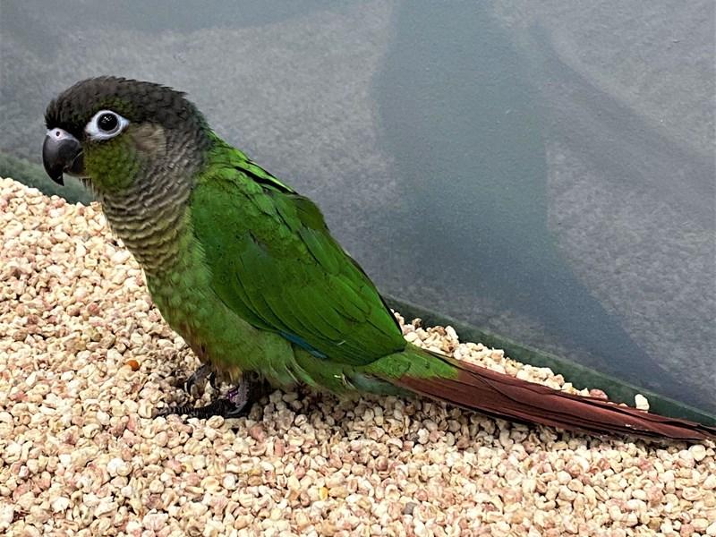 Green Cheek Conure-BIRD--green/ red tail-3155063-Petland Carriage Place