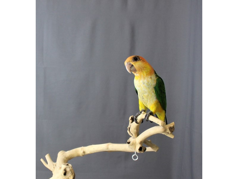 White Belly Caique-BIRD--WHITE/GREEN/YELLOW-3200511-Petland Carriage Place