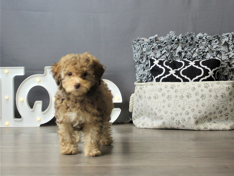 Poodle-Male-Chocolate and Tan-3266637-Petland Carriage Place