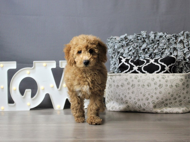 Mini Goldendoodle-Male-Red-3275354-Petland Carriage Place