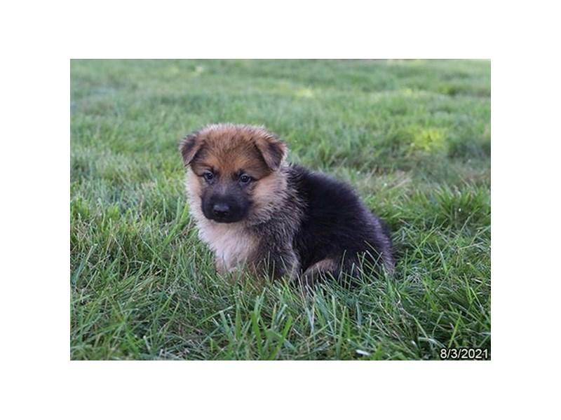 German Shepherd Dog-Male-Black / Tan-3284450-Petland Carriage Place