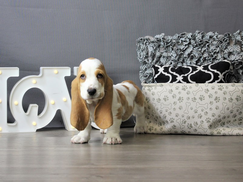 Basset Hound-Male-Red/ White-3293136-Petland Carriage Place
