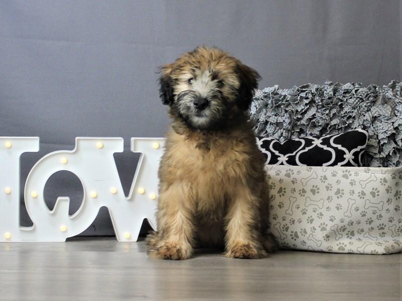Soft Coated Wheaten Terrier-Female-Wheaten-3293156-Petland Carriage Place