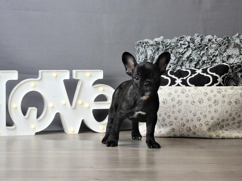 French Bulldog-Female-Brindle-3293148-Petland Carriage Place