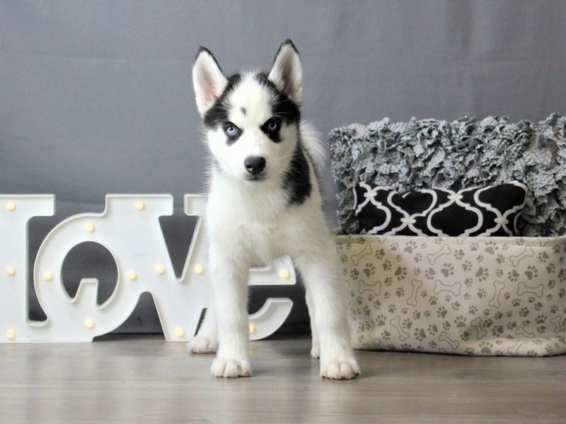 Siberian Husky-Female-Black / White-3302817-Petland Carriage Place