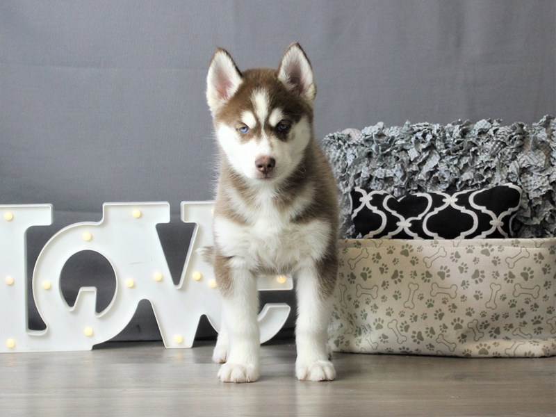 Siberian Husky-Female-Red / White-3302818-Petland Carriage Place