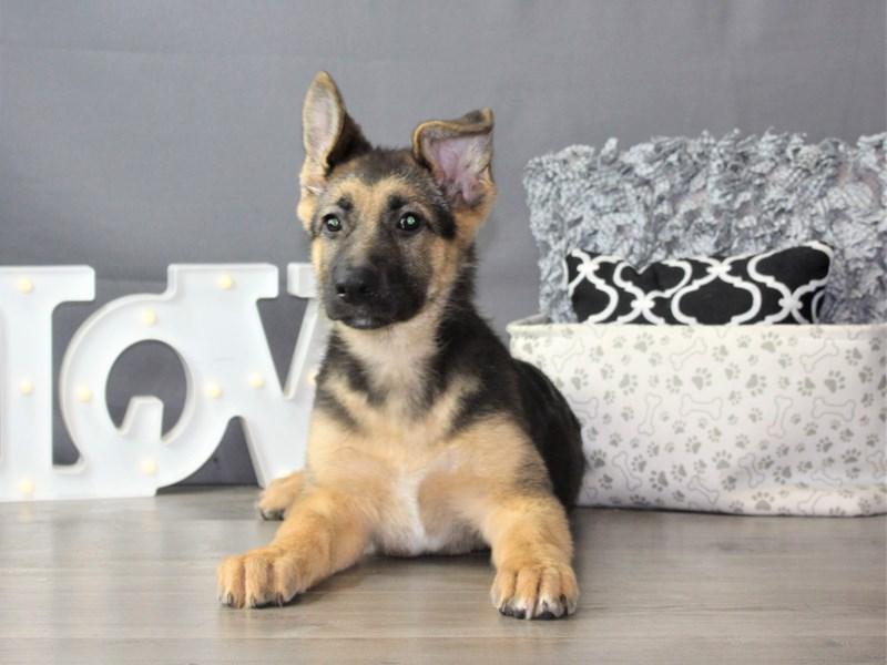 German Shepherd Dog-Female-Black / Tan-3312029-Petland Carriage Place