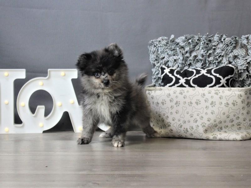 Pomeranian-Female-Sable-3312178-Petland Carriage Place