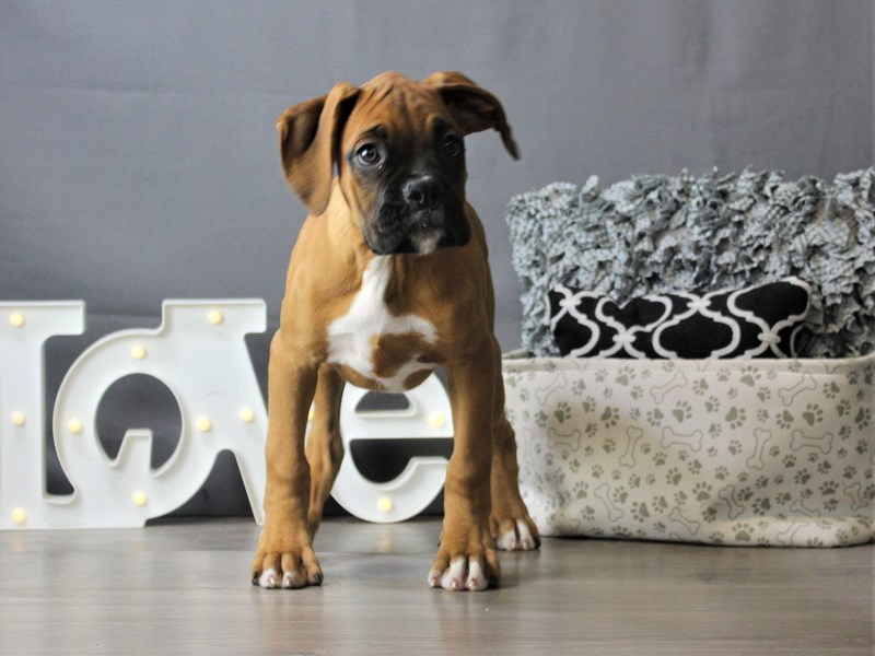 Boxer-Male-Fawn-3312023-Petland Carriage Place