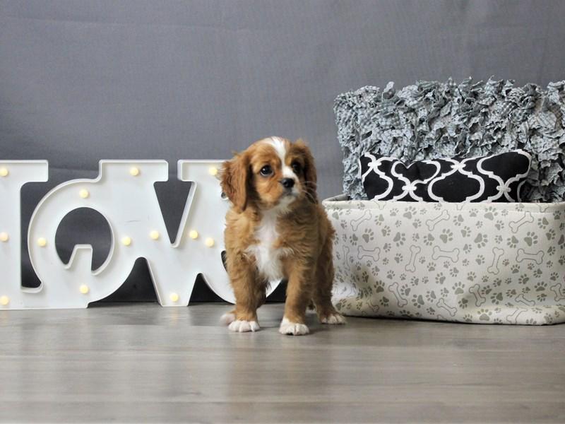 Cavalier King Charles Spaniel-DOG-Female-Ruby-3312027-Petland Carriage Place