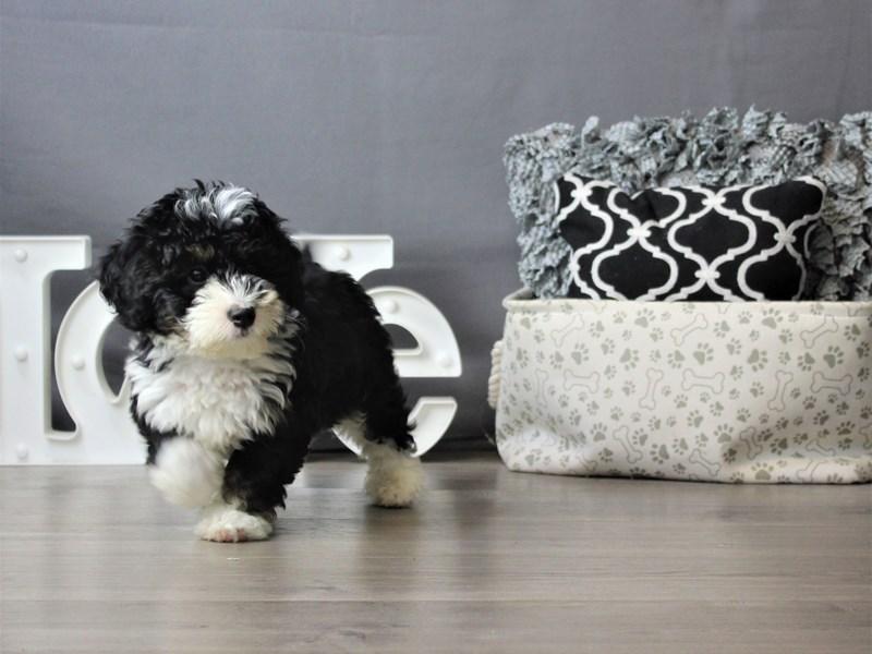 Mini Bernadoodle-DOG-Male-Black Tri-Colored-3321226-Petland Carriage Place