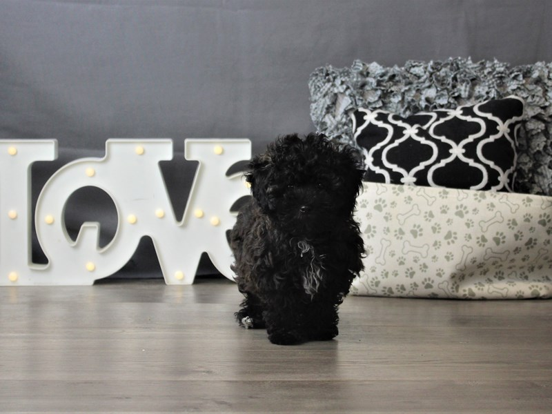 Maltese/Poodle-DOG-Female-Brown-3330316-Petland Carriage Place