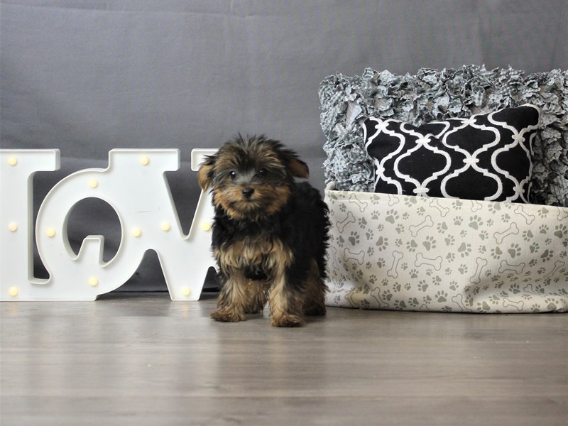 Yorkshire Terrier-Female-Black / Tan-3330114-Petland Carriage Place