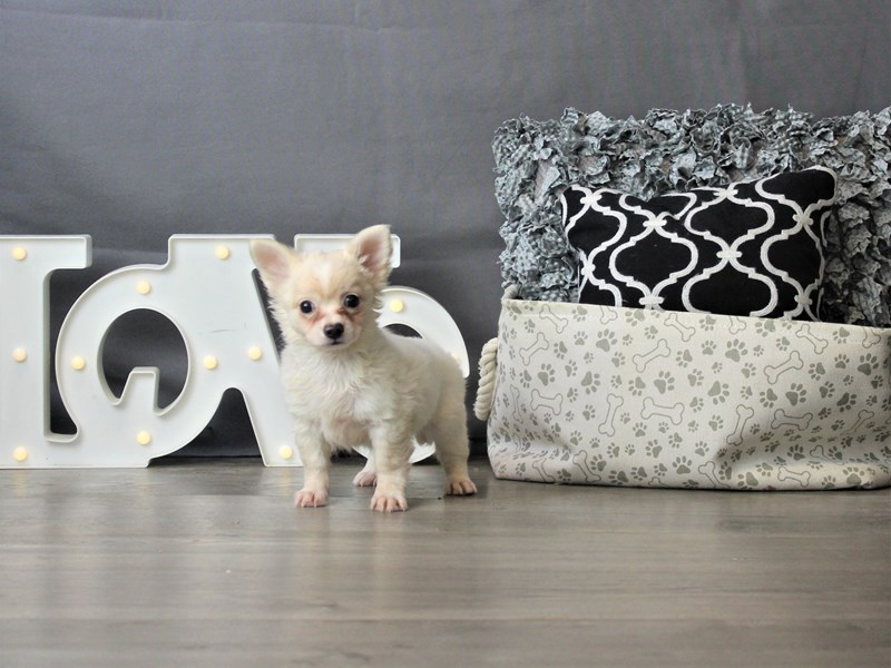 Chihuahua-Male-White / Apricot-3330093-Petland Carriage Place